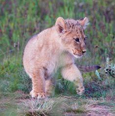 Gondwana lion pride 2018 by Brenda Li  Cubs playing