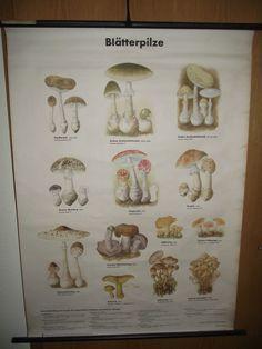 antike Lehrtafel  Blätterpilze  Lehrkarte Rollkarte Schulwandkarte