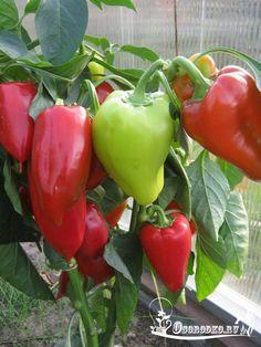 Как формировать перцы - пасынкование в открытом грунте и теплице, интенсивная технология для богатого урожая