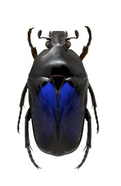 Dicheros (Coryphocera) lividus