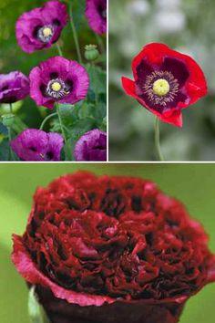 Papaver somiferum Mix ('Dark Plum', 'Cherry Glow', 'Black Beauty'.