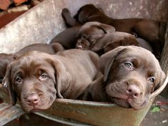 Trendy dogs and puppies labs kiss Funny Dogs, Cute Dogs, Baby Animals, Cute Animals, Dog Breath, Brown Dog, Animal Projects, Puppy Pictures, Dog Quotes