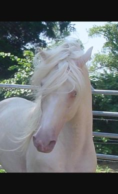 You cannot have a true albino horse. They have to have red eyes to be albino and there are no true albinos in the equine world. There are some that are not albinos but are called lethal white as they die with in a day of birth. All The Pretty Horses, Beautiful Horses, Animals Beautiful, Beautiful Unicorn, Beautiful Beautiful, Beautiful Pictures, Horse Pictures, Animal Pictures, Albino Horse