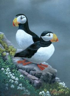 Horned Puffins Bird Pictures