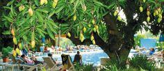 Under the Mango Tree at Nadi Bay Resort Hotel