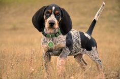 Bluetick Coonhound 03                                                                                                                                                     More
