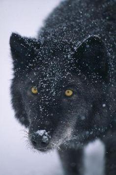 Beautiful Creatures, Animals Beautiful, Cute Animals, Magical Creatures, Wild Animals, Baby Animals, Wildlife Photography, Animal Photography, Tribal Wolf Tattoo