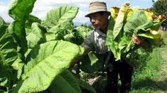 Ribuan petani tembakau Lombok mendaftar sebagai peserta BPJS Ketenagakerjaan