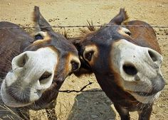 If you wonder what a donkey can eat, you can find all important feeding facts here. Take good care of your donkey with best information. Happy Animals, Farm Animals, Animals And Pets, Funny Animals, Cute Animals, Cute Donkey, Mini Donkey, Zebras, Clydesdale