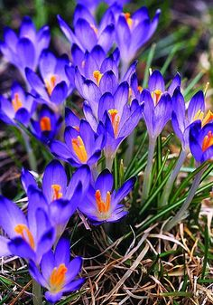 "Crocuses - Purple Crocus is used for resolving tension generated from grief and loss. This beautiful flower has to do with the throat and ""speaking your truth""."
