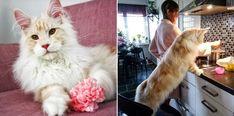Conoced a Lotus, el majestuoso gato Maine Coon que arrasa en Internet Gato Maine, Internet, Cats, Plasma, Amor, Maine Coon Kittens, Breeds Of Cats, Beautiful Cats, Pets