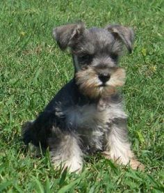 schnauzers!!! puppy is adorable