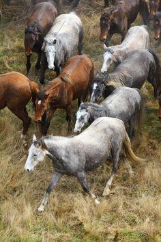 Wild Kaimanawa horse muster