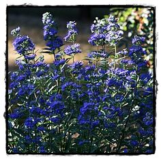 Dark Knight Caryopteris  ~ See the Plant Information Index for more details at kieferlandscaping.com