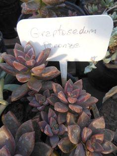 Image aeonium arboreum 39 velour 39 plante d 39 int rieur l 39 hiver for Amaryllis belladonna vente