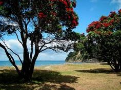Pohutukawa trees - Only bloom at Christmas - summer in New Zealand