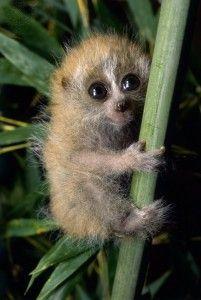 The World's Cutest Animal… The Slow Loris