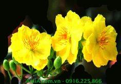 Nhận đặt làm quà tặng doanh nghiệp, quà Tết với tranh hoa mai vàng