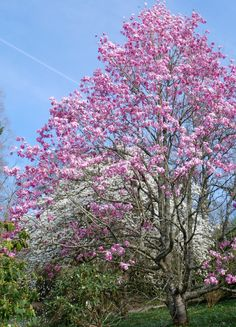Ice-cream colours of two contrasting #magnolias against a Cornish blue sky at #Glendurgan near #Falmouth in #Cornwall  #spring #garden #flowers
