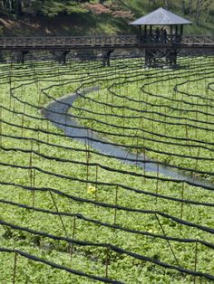Japanese horseradish, otherwise known as wasabi, growing at Daio Wasabi Farm in… Horseradish Plant, Nagano Japan, Go To Japan, Water Plants, Japanese Beauty, Japanese Culture, Japan Travel, Water Features, The Locals