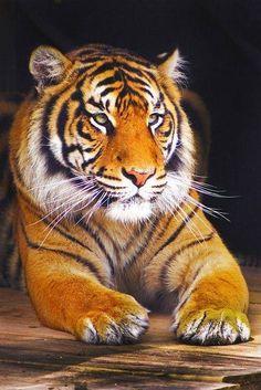 Blaze has a pet tiger named Raja. She named it after Princess Jasmine's pet tiger, Raja. Cute Baby Animals, Animals And Pets, Wild Animals, Beautiful Cats, Animals Beautiful, Tigre Animal, Gato Grande, Tiger Love, Mundo Animal
