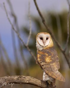 """Looking Pretty by Phill Doherty on """"Image captured at the Arizona-Sonora Desert Museum and Raptor Center in West Tucson. Arizona Birds, Raptor Center, Tyto Alba, Nocturnal Birds, Owl Photos, Beautiful Owl, Pretty Images, Wise Owl, Owl Bird"""