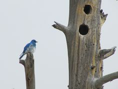 Mountain bluebird by nest in cavity of dead lodgepole pine at Fountain Paint Pots; June 2015;  Yellowstone National Park, Wyoming (pinned by haw-creek.com)