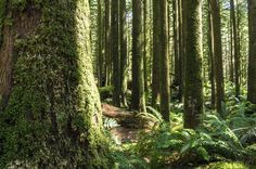 Golden Ears Provincial Park, Maple Ridge, BC by Jason Wilde Forests, British Columbia, Wander, Vancouver, Ears, Trees, Backyard, Live, Places