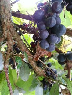 These grapes are hanging from the vines that mum planted over 30 tears ago and are still producing fruit today for the rest of the family to enjoy,Nice one mum xox