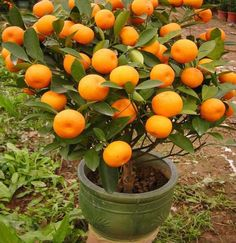 10+ Mandarin Orange Tree Seeds (Citrus reticulata Blanco) Ornamental, Indoor/Outdoor Fruit Tree Home Garden Plants, Fruit Garden, Garden Seeds, Citrus Garden, Edible Garden, Organic Gardening, Gardening Tips, Balcony Gardening, Gardening Services