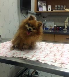 Top 5 Pomeranian Health Issues -