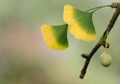 Maidenhair tree  Scientific name:     Ginkgo biloba  Family:   Ginkgoaceae (ginkgo)  Also known as:   Fossil tree