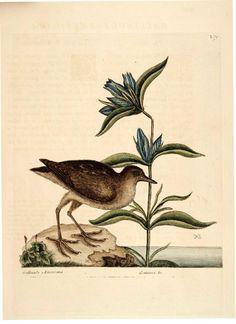 Animal - Bird - Catesby 69 bird