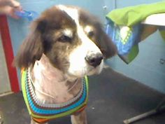 [[SENIOR ALERT]] DOG A4520968. neutered male, brown and white Collie - Rough mix. I am about 8 years old. Lancaster 661-940-4191