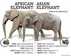 African Vs Asian Elephant: The differences discussed in this infographic. All About Elephants, Elephants Never Forget, Save The Elephants, Types Of Elephants, Baby Elephants, African Bush Elephant, Asian Elephant, Elephant Love, Elephant Stuff