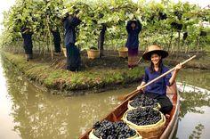 Siam Winery Floating Vineyards | vía @VinePair