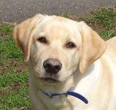 Orvis the Yellow Labrador Retriever Pictures 11338 #labradorretriever