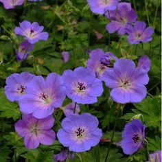 Un Géranium au port compact Le Géraniuml 'Azure Rush' ® possède un beau feuillage semi-persistant. Variété semblable auGéranium 'Rozanne' ®, son port est néanmoins plus compact. La floraison bleue-violette à coeur plus clair s'épanouit du mois de mai et jusqu'aux premières gelées. Idéal au soleil, dans un massif, en couvre-sol ou en jardinières, le Géranium 'Azure Rush' ® mesure 30cm de haut environ pour un étalement de 40cm.