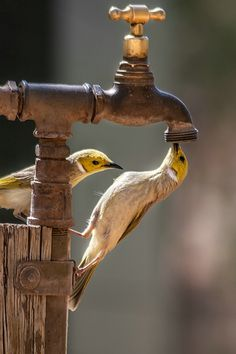 Birds trying to drink out of the spigot Pretty Birds, Beautiful Birds, Animals Beautiful, Cute Animals, Beautiful Scenery, Wild Animals, All Birds, Love Birds, Photo Animaliere