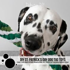 DIY St. Patrick's Day Woven Fleece Dog Tug Toy Ideas - Dalmatian DIY Pet Dogs, Pets, Green Toys, Weaving Patterns, Dalmatian, New Toys, Dog Love, Your Dog, Day