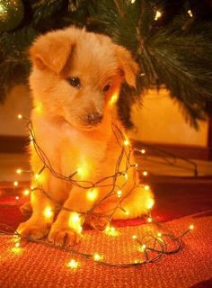 Untangling Christmas lights can be a ruff job!