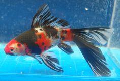 Goldfish - Another wonderful Shub