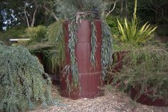 In the centre is Eucalyptus 'Blue Veil', a weeping ground-cover form of the River Red Gum