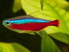 Cardinal Tetra Fish Pictures