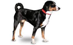 Appenzeller Sennenhunde...maybe my possible option besides a Border Collie.