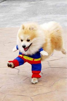 I don't always like Pomeranians, but when I do, I prefer them in hilarious Superman outfits.
