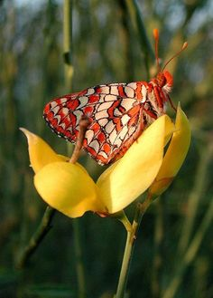**Checkerspot Butterfly