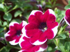 La Tabla en El Jardín: Petunia 'Cascadia' alternando color