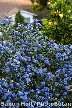 Blue flowering California Lilac shrub (Ceanothus 'Julia Phelps') in drought tolerant Southern California garden with native plants