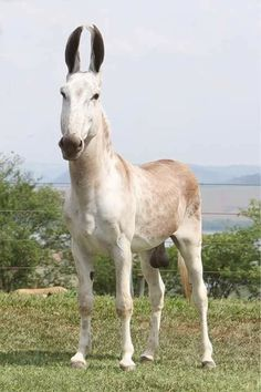 """Mark Valandingham ~ Does anyone know of any Pega Breeding Jacks in the U.S. such as this breed?   """"""""""""FIRE MACHINE """"""""""""(Brazil the Pega Donkey.)"""